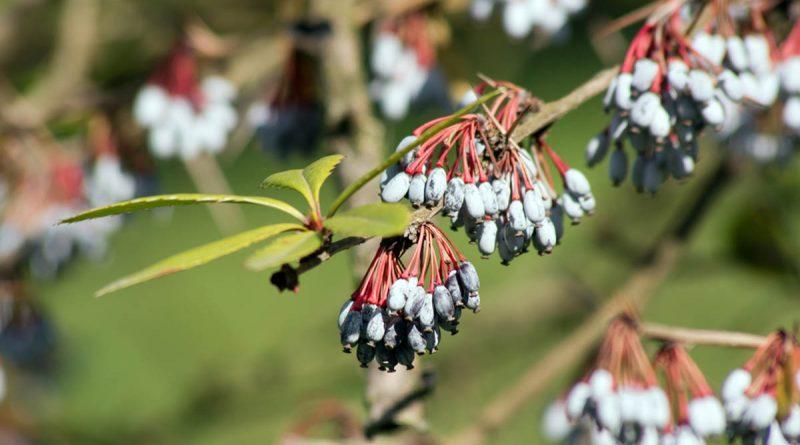 10 zimozielonych roślin, które ozdobią Twój ogród przez cały rok