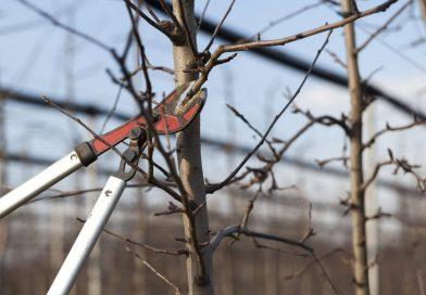 Jak przycinać drzewa ikrzewy wiosną?